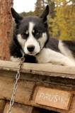 Denali Sled Dog